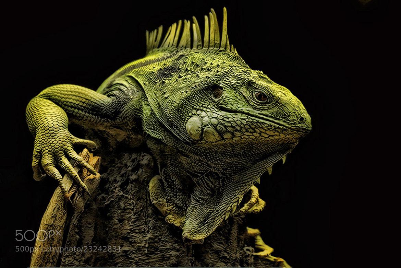 Photograph Green Iguana by John Larson on 500px