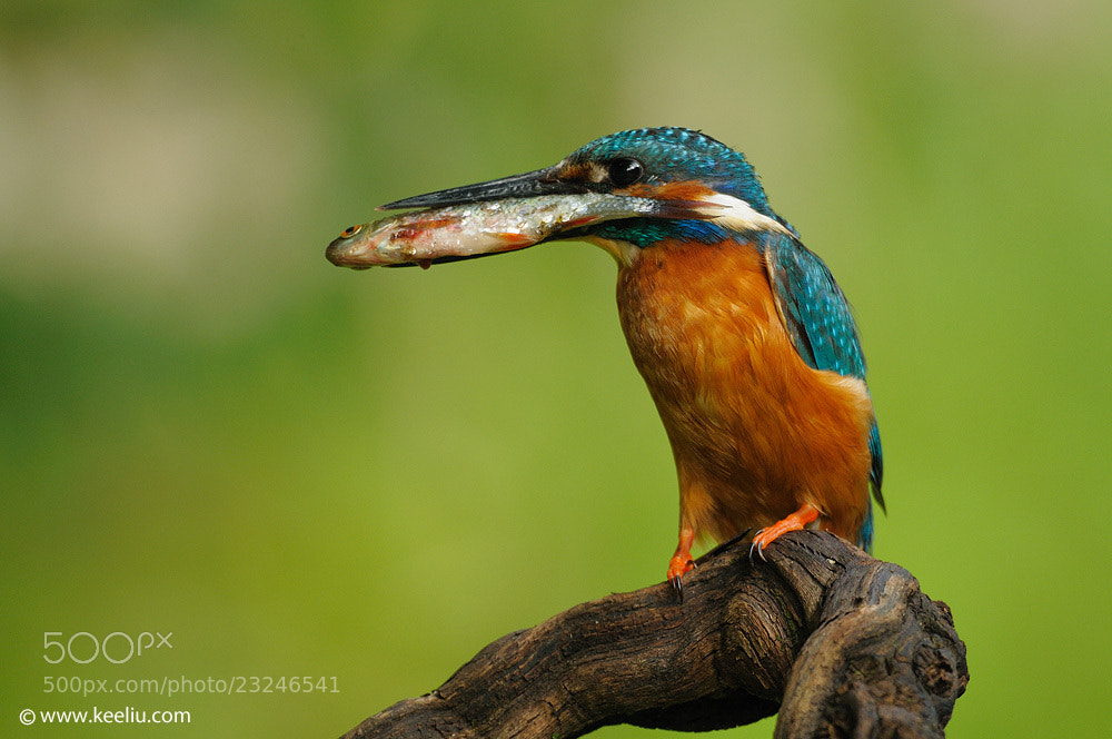 Photograph Common Kingfisher by Kee Liu on 500px