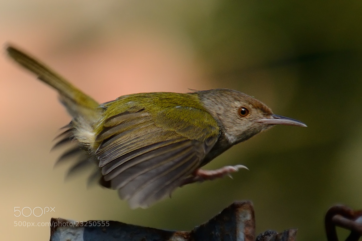 Photograph Common Tailor Bird by Prosenjit Biswas on 500px