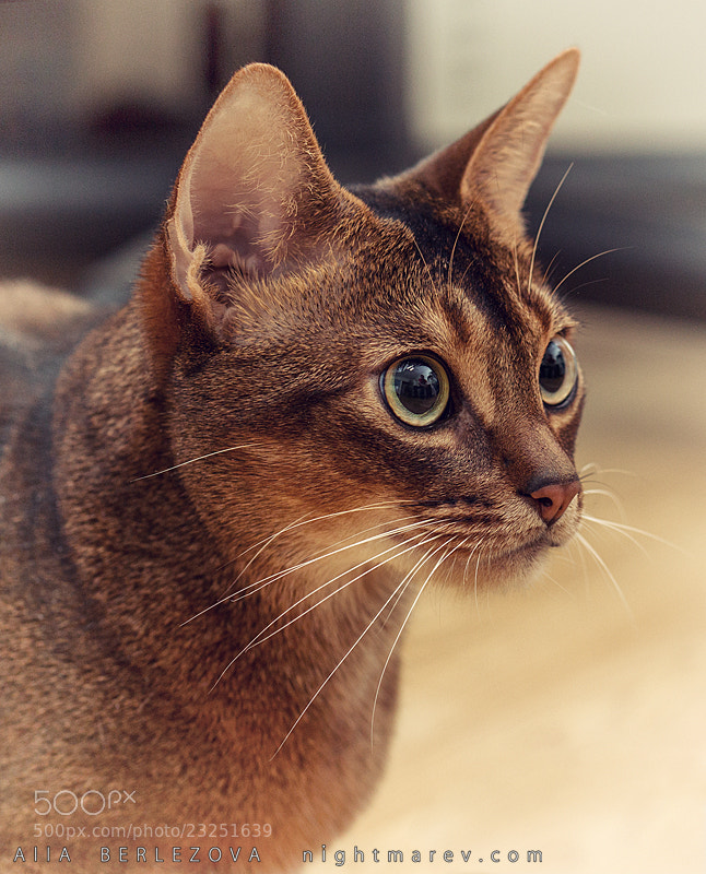 Photograph Abyssinian by Alla Berlezova