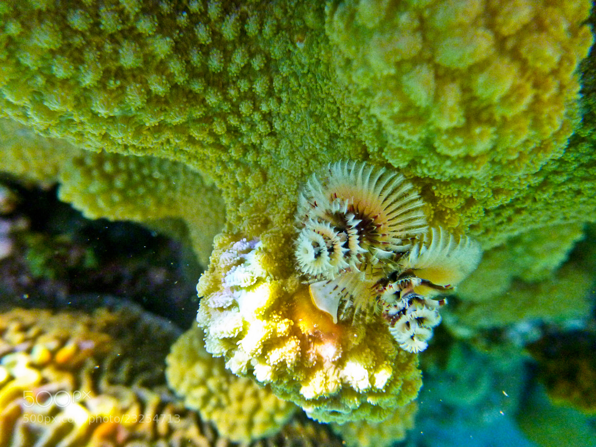 Photograph Xmas-Tree Worm in Corals by Ofer Perl on 500px