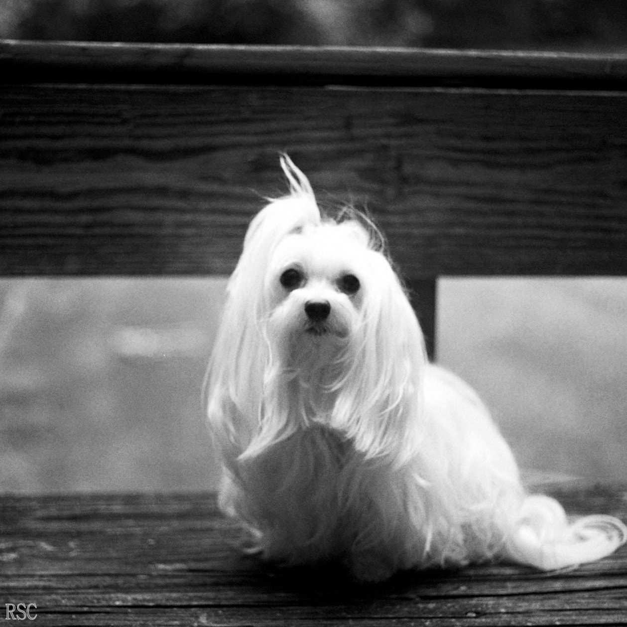 Photograph Posing Waiting Maltese Black And White Portraitt by Robin Sing-Cunningham on 500px