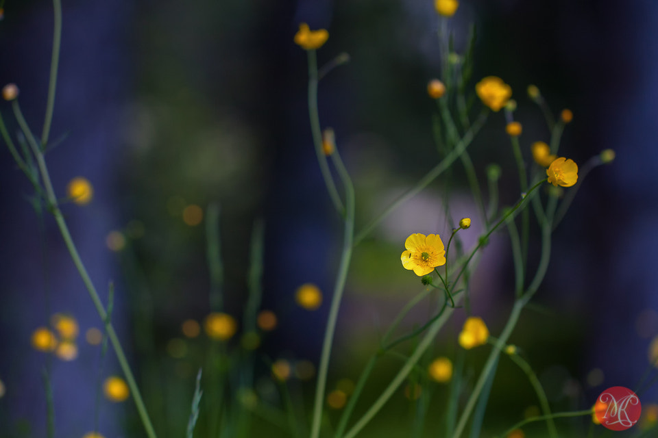 Photograph Meadow flowers (Lake Louise, AB) by Kasia Sokulska on 500px
