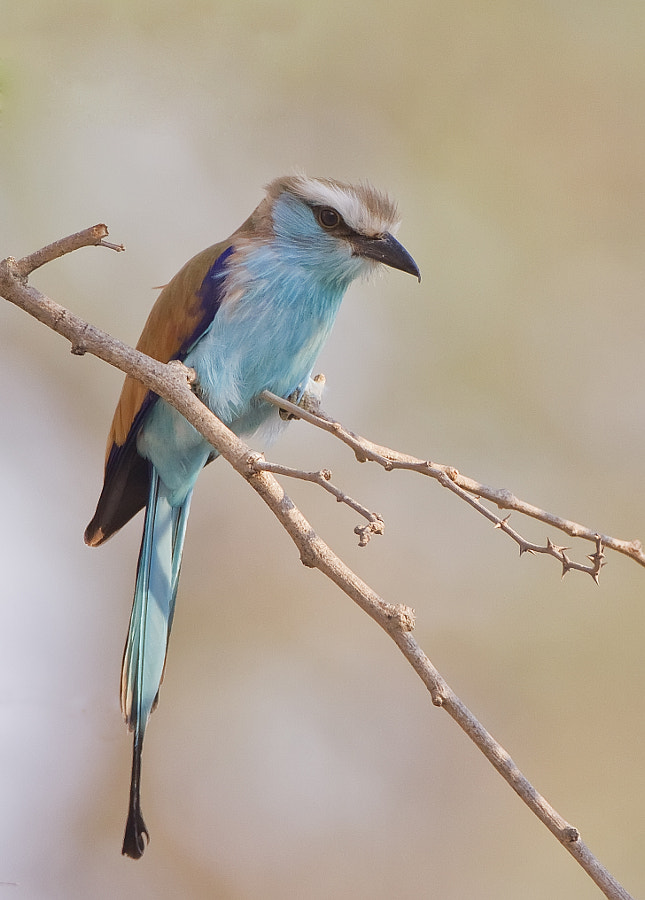 After years of failing and misidentification, I at last have an image of what I hope to be a Racquet Tailed Roller, unfortunately the tail is not that good. Taken in Mana Pools,Zimbabwe, 12th September 2011.