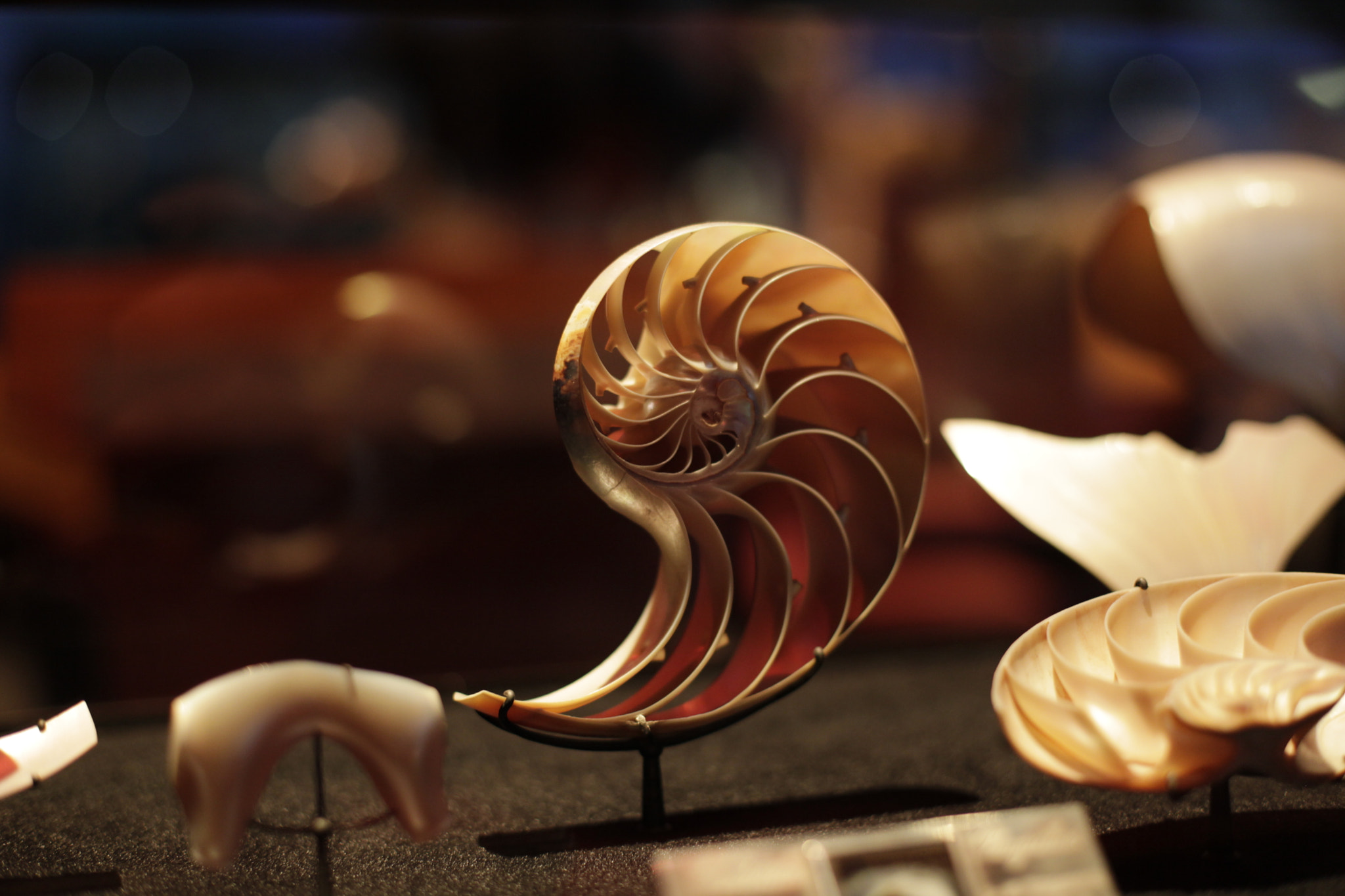 Photograph Nautilus by rnkvnm on 500px
