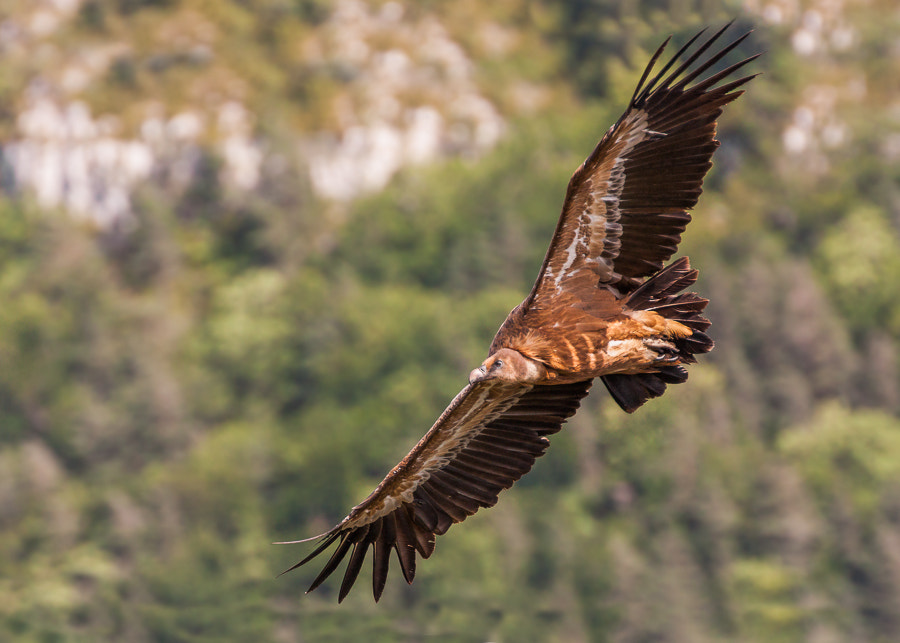 Photograph Griffon Vulture (Gyps Fulvus) by Laurent Staes on 500px