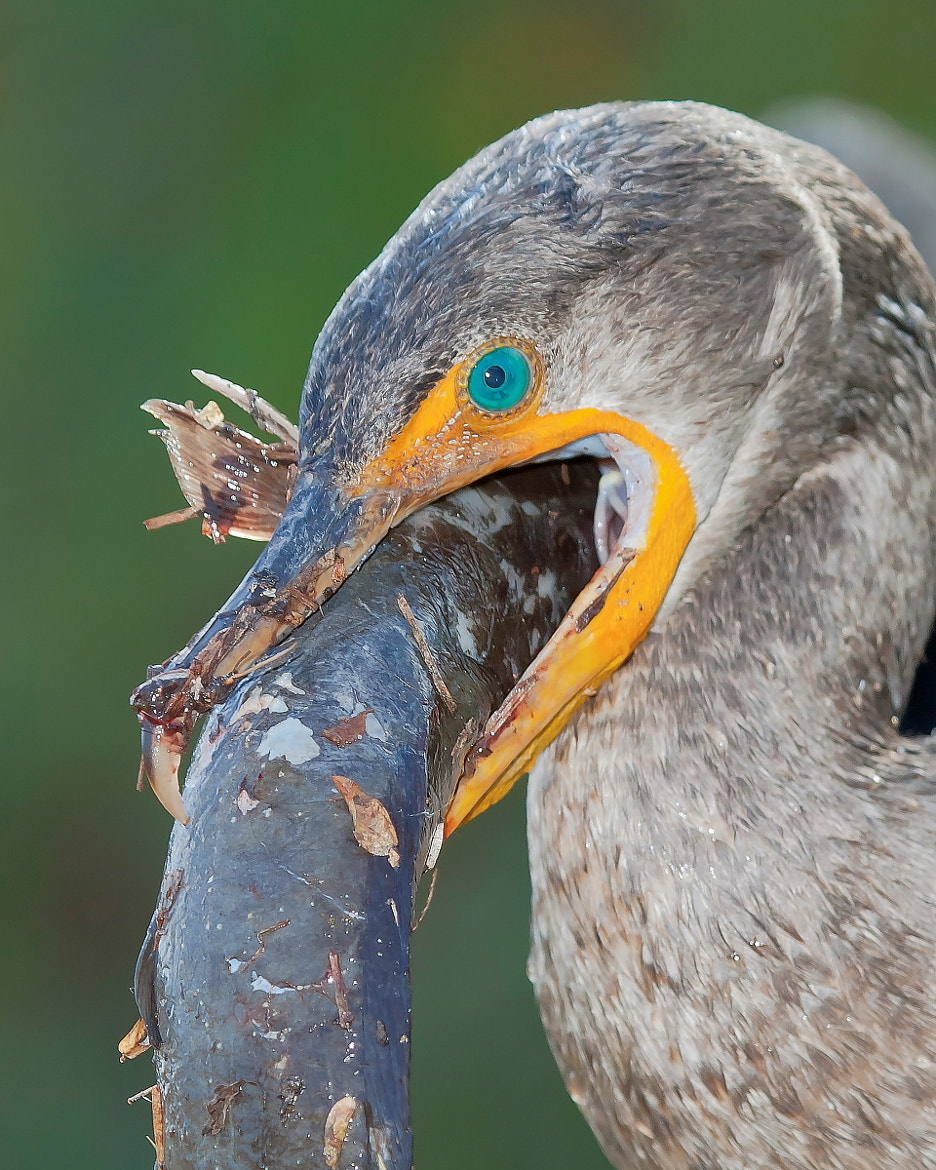 Photograph Cormorant with Catfish by Miguel Angel Leyva on 500px