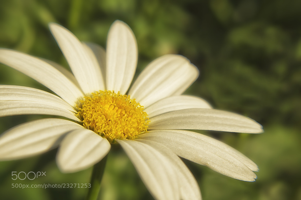 Photograph Lazy Daisy by Michael Anthony Cantone on 500px