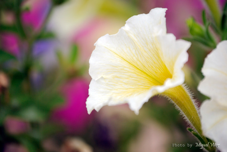 Photograph Velvet Trumpet by Miguel Vitor on 500px