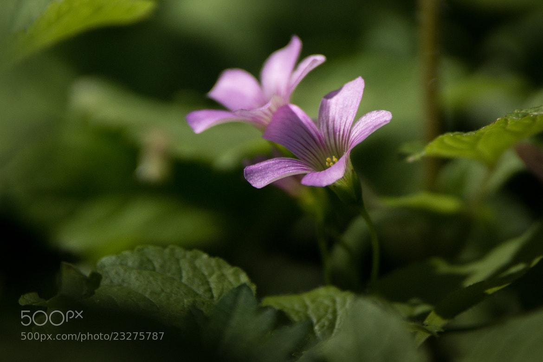 Photograph 一起 紫花酢漿草 by 阿民 曾 on 500px