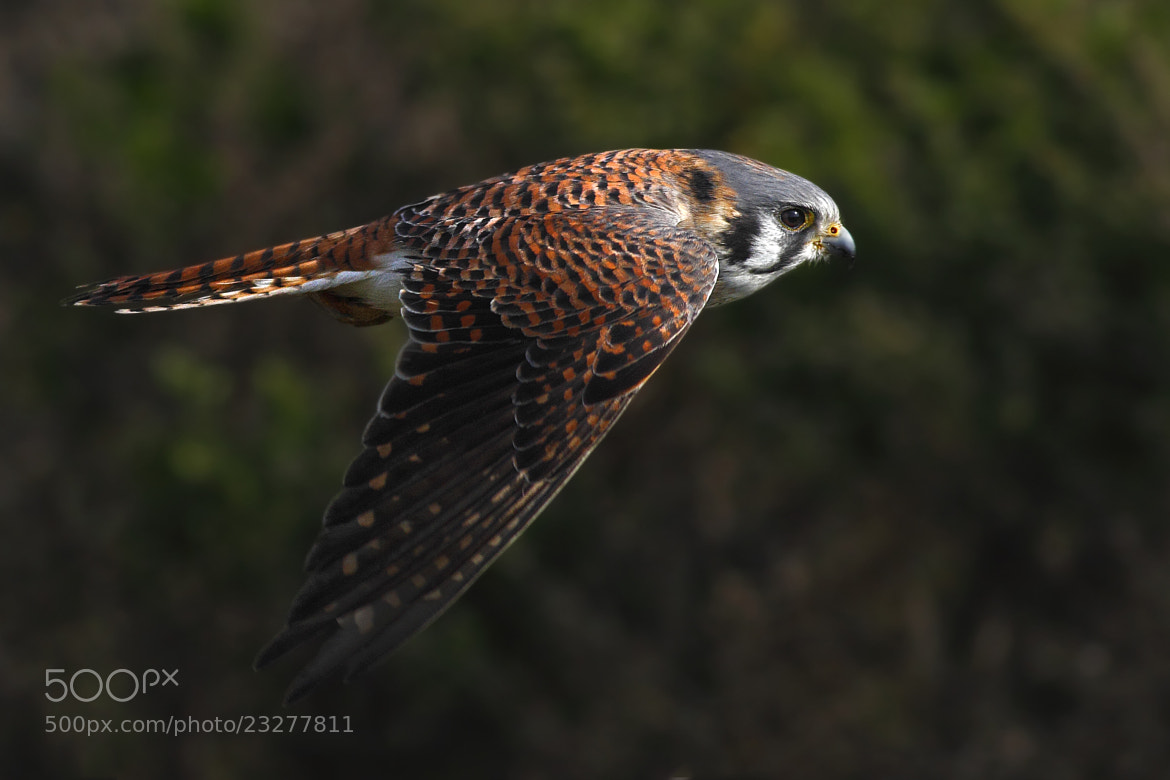 Photograph The Amercian Kestrel by Salah Baazizi on 500px