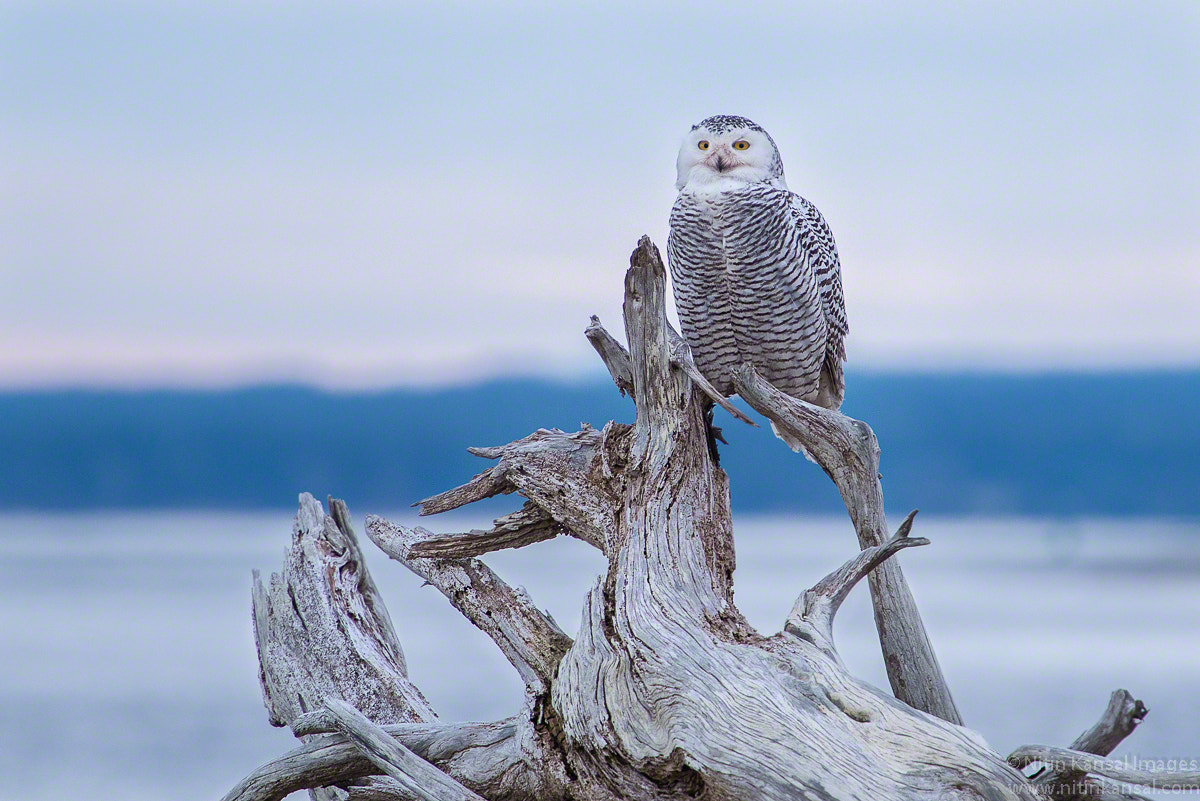 Photograph Snowy Owls at Ocean Shores by Nitin Kansal on 500px
