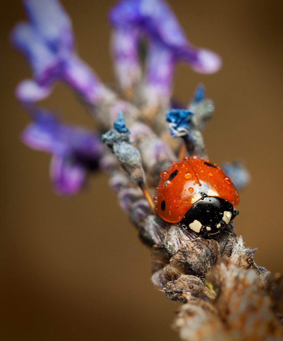 Photograph Ladybug by Andres Gutierrez on 500px