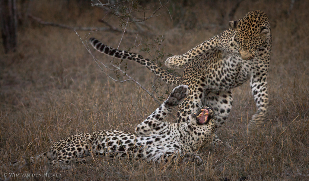 Photograph Cat Fight by Wim van den Heever on 500px
