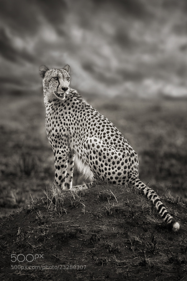 Photograph Cheetah by Mario Moreno on 500px