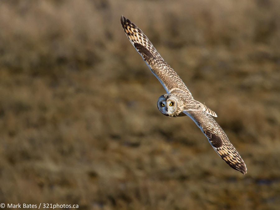 Photograph Short Eared by Mark Bates on 500px