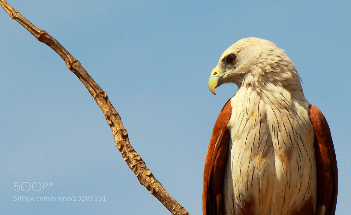 Photograph Brahminy Kite by udhay krishnamurthy on 500px