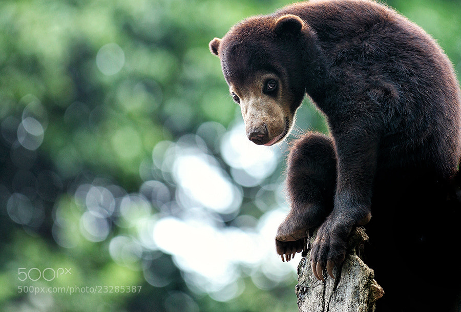 Photograph Little Bear by Prabu dennaga on 500px