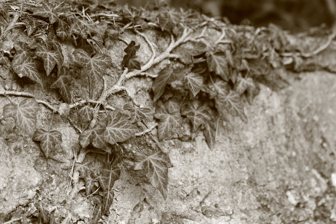Photograph leaf on the old wall by Paola Fiore on 500px