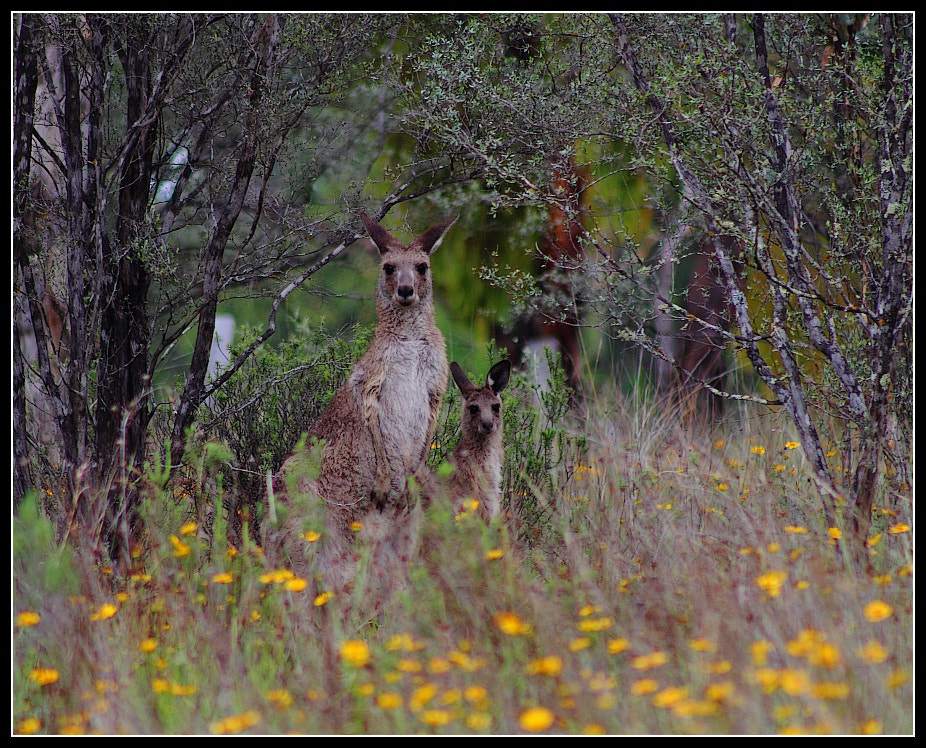 Photograph Grey Kangaroos, Girraween National Park by Paul M on 500px
