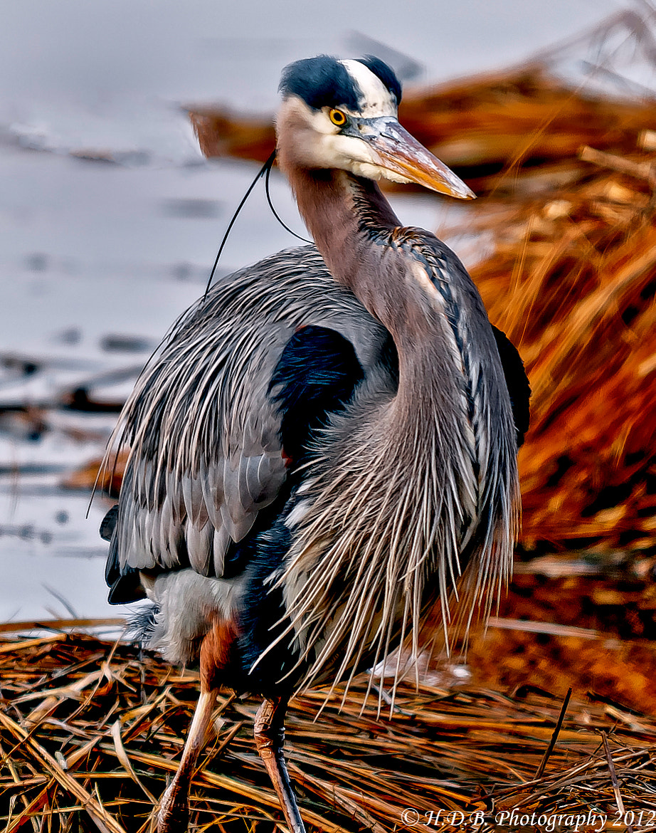 Photograph Great Blue Heron by Harold Begun on 500px