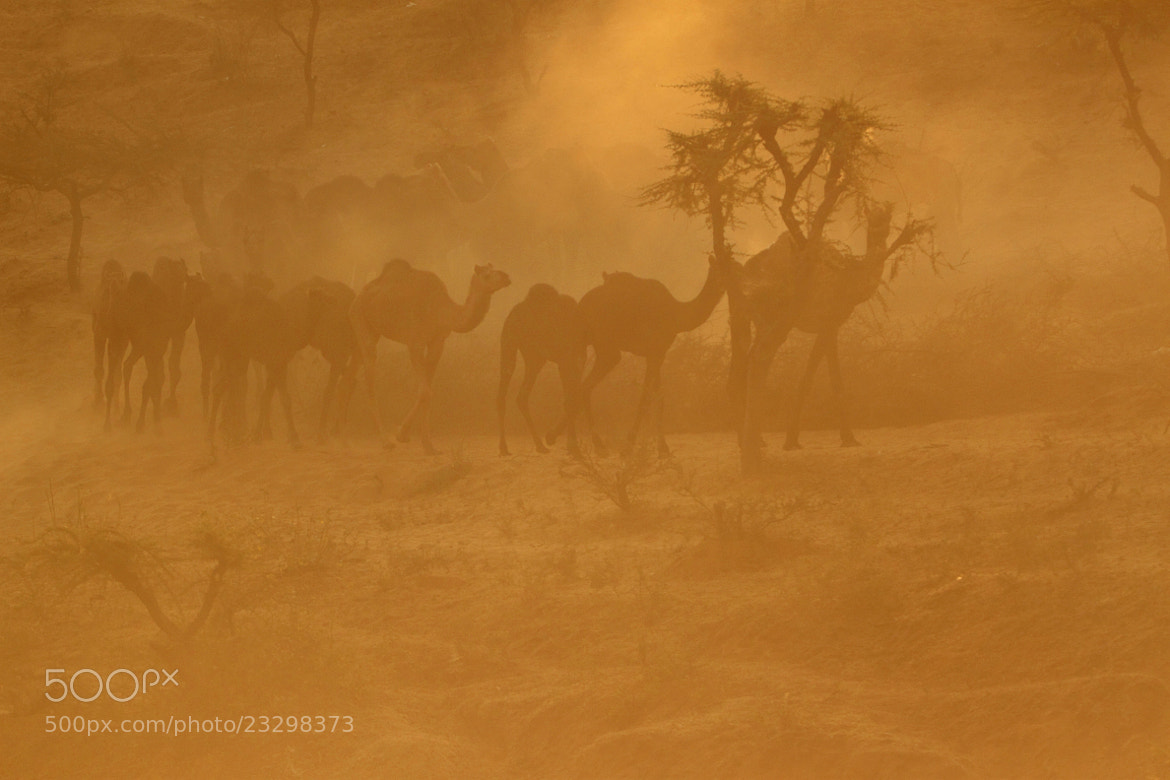 Photograph Camel herd by udhay krishnamurthy on 500px