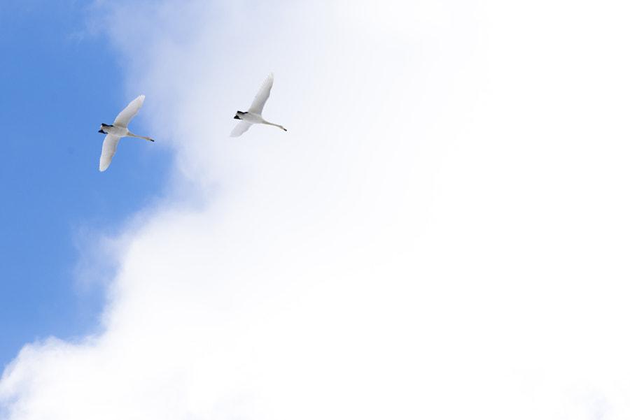 500px.comのKousuke Toyoseさんによる冬の使者 白鳥
