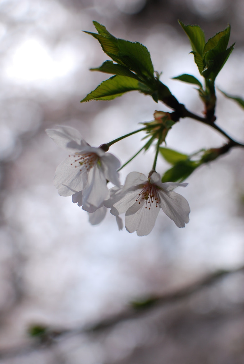 Photograph Sakura by T.Y.O.  on 500px