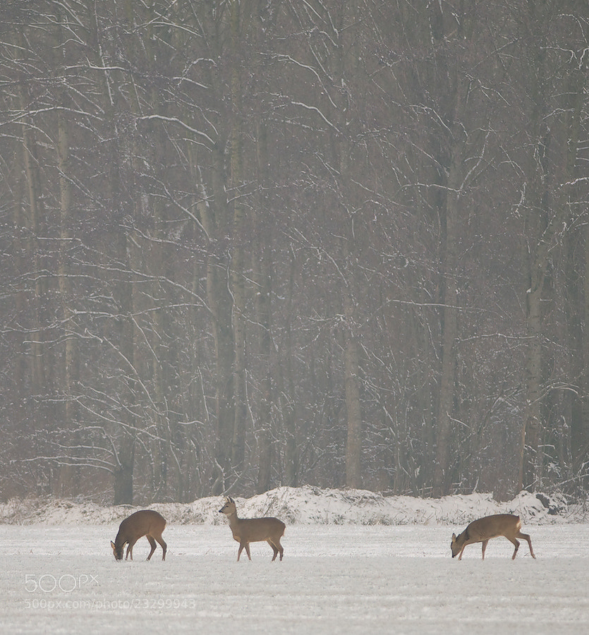 Photograph 3 Roe Deers in the snow by Erik Veldkamp on 500px