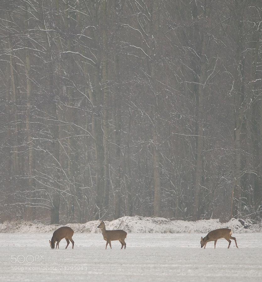 Photograph 3 Roe Deers in the snow by Erik Veldkamp on 500px