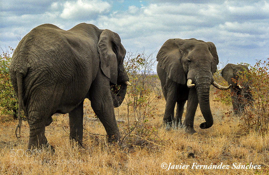 Photograph Elephant in P:N. Kruger by Javier Fernández Sánchez on 500px