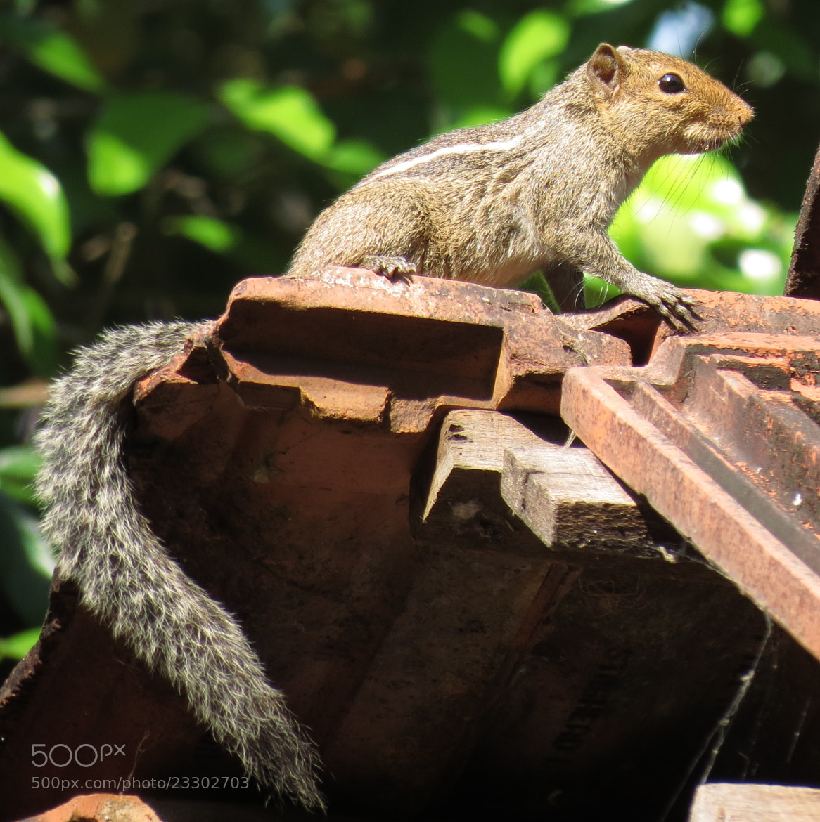 Photograph Indian palm squirrel by Sinu Nair on 500px