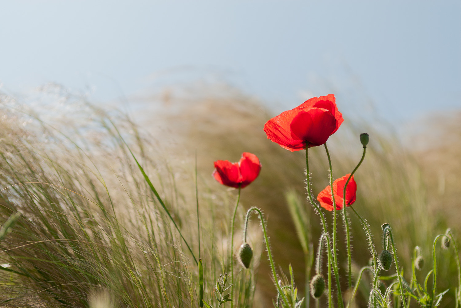 Photograph Poppy by Jos Didden on 500px