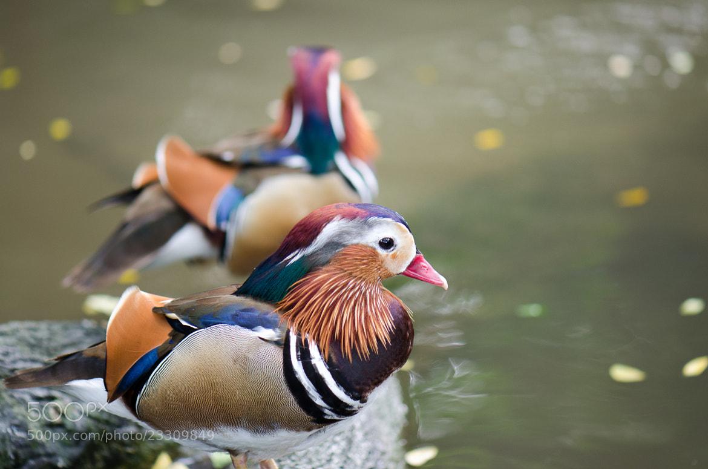 Photograph mandarin duck by Kok Leong Lee on 500px