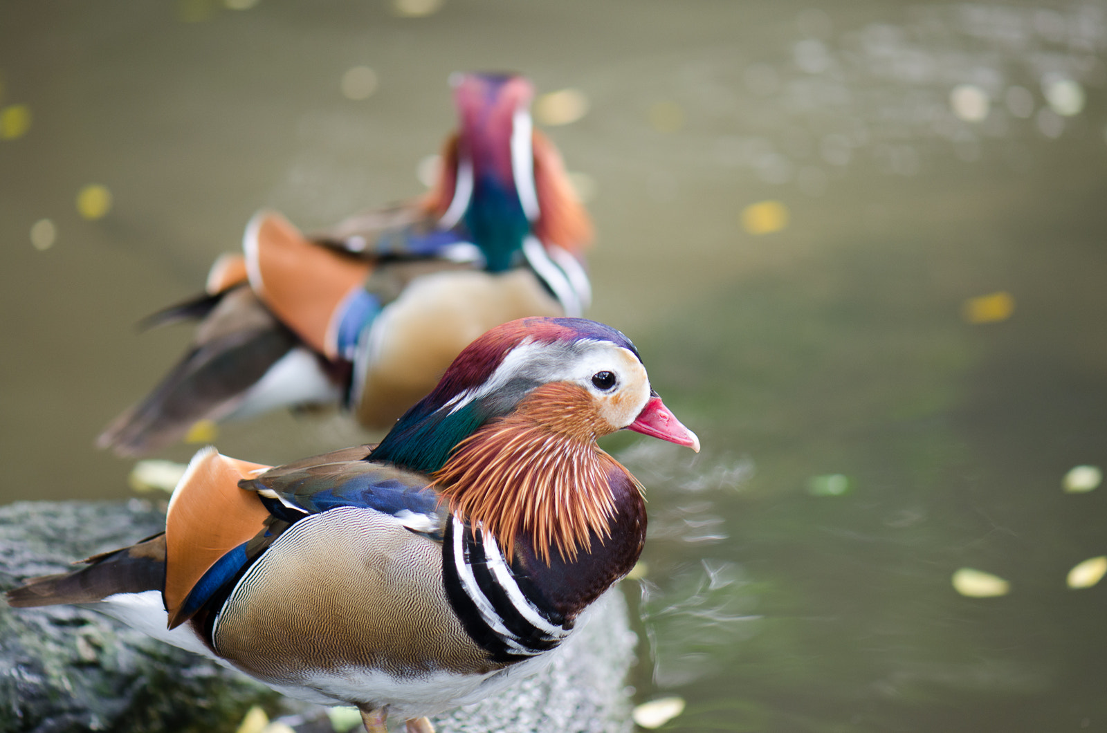 Photograph mandarin duck by Kok Leong Lee on 500px