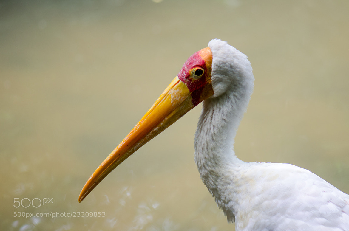 Photograph yellow-billed stork by Kok Leong Lee on 500px