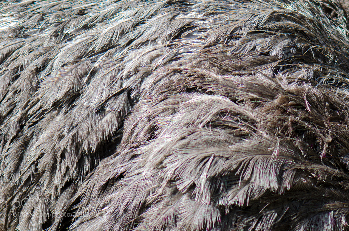 Photograph ostrich feathers by Kok Leong Lee on 500px