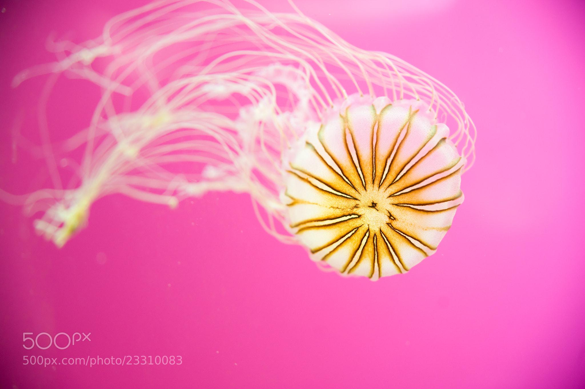 Photograph Purple-Striped Jellyfish by Melanie Geroche on 500px
