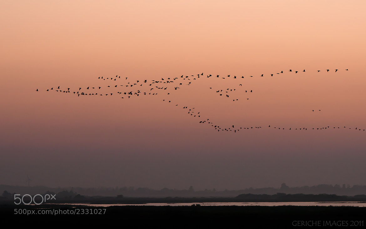 Photograph Geese incoming! by Geriche  Images on 500px