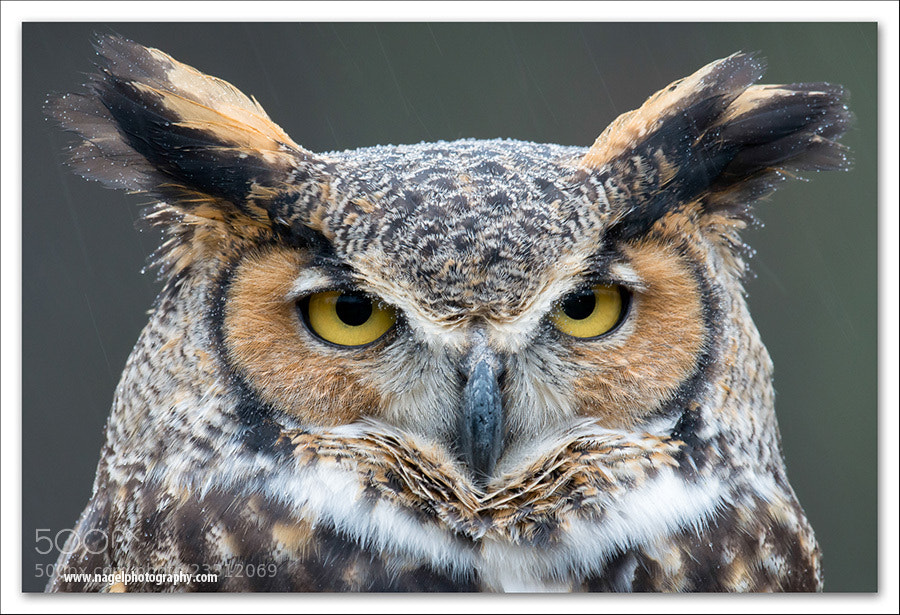 Photograph Great Horned Owl by Glenn Nagel on 500px
