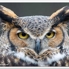 Great Horned Owl by Glenn Nagel (gnagel)) on 500px.com
