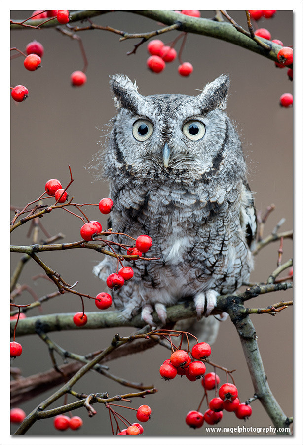Photograph Owl and berries by Glenn Nagel on 500px