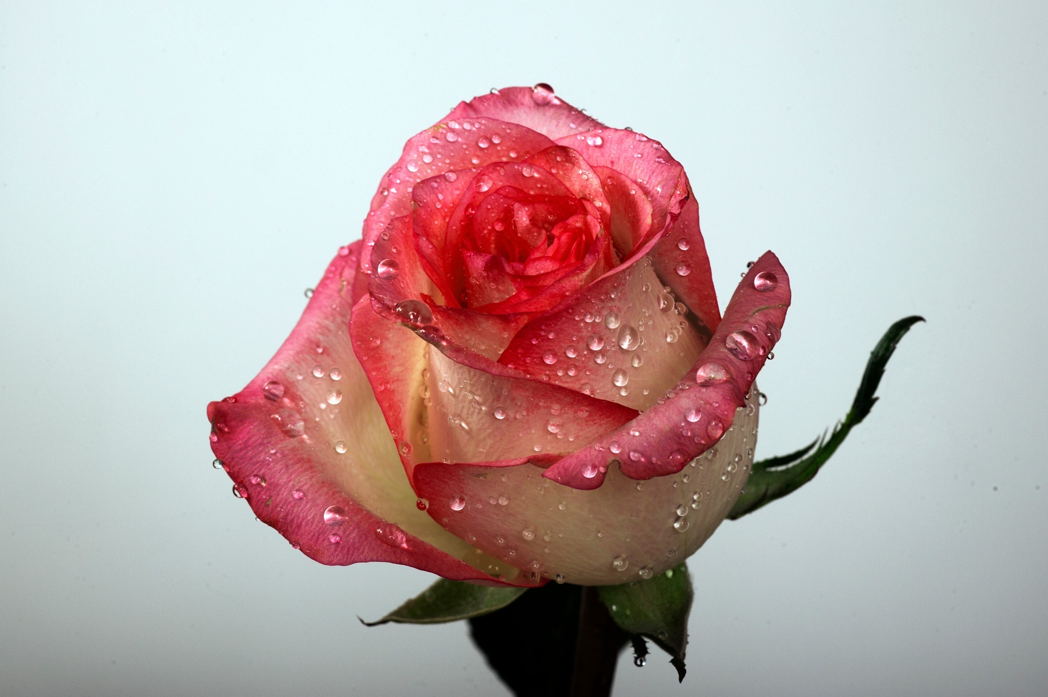 Photograph Rose with raindrops by Cristobal Garciaferro Rubio on 500px
