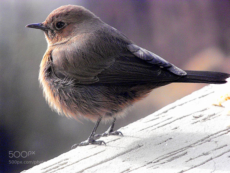 Photograph female robin by Mahmoud Akbar on 500px