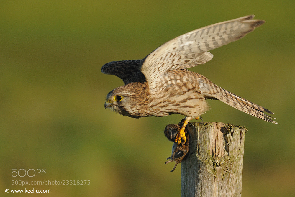 Photograph Common Kestrel by Kee Liu on 500px