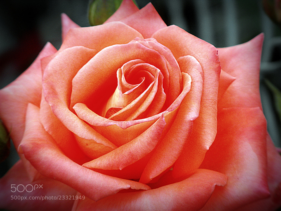 Photograph king rose by Mahmoud Akbar on 500px