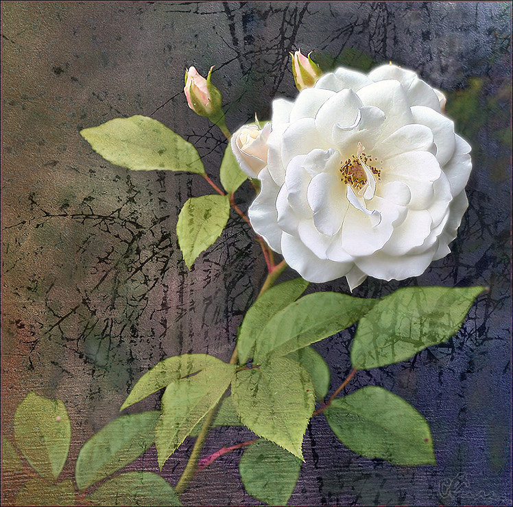Photograph Wild  rose by Alla  Lora on 500px