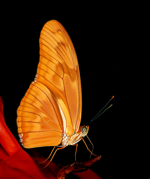 In my opinion the Dryas julia is one of the most beautiful longwing butterflies in the world. Shot taken back in July 2002 on Fuji Velvia ISO 50 slide film scanned with the Nikon Super Coolscan 4000ED  Best regards, Harry