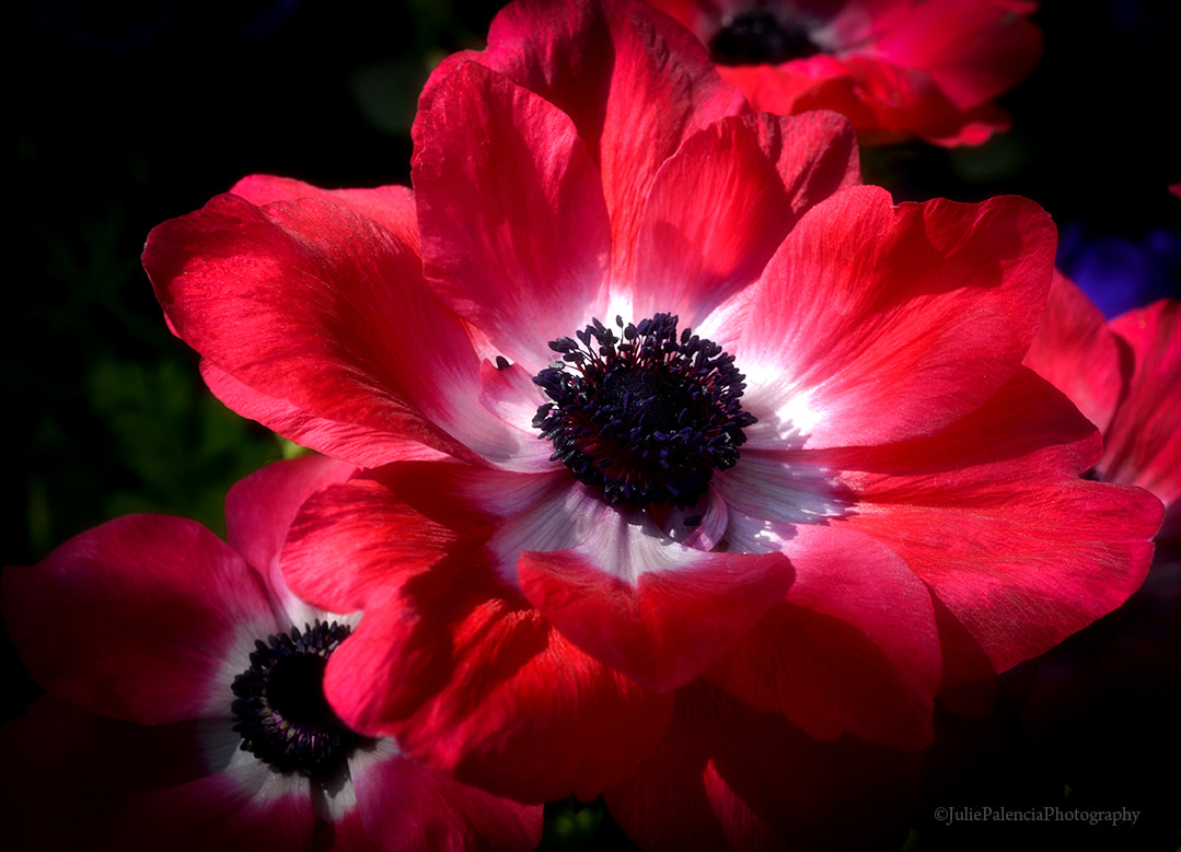 Photograph Beautiful Poppies by Julie Palencia on 500px