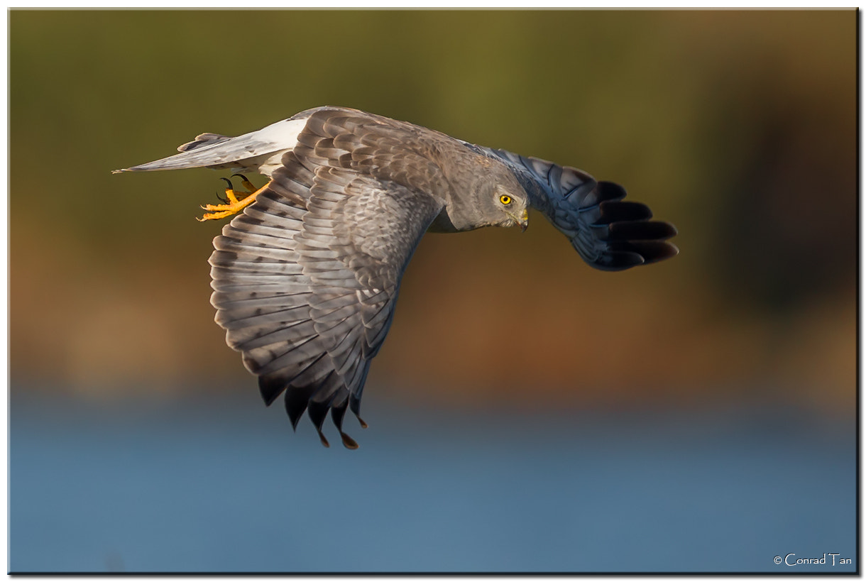 Photograph Northern Harrier power-dive! by Conrad Tan on 500px